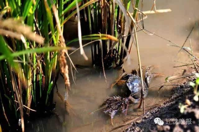 盘锦市的二两母河蟹多少钱一斤呢?