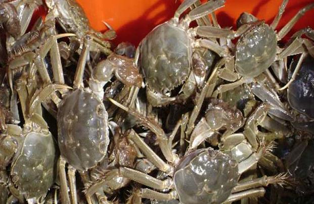大规格河蟹养殖技术